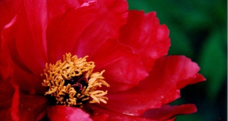 """Peonía japonesa: """"Rey de las Flores"""""""