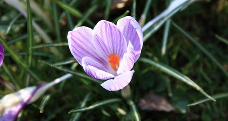 Loscrocus tienen un follaje rsloparecido al pasto.