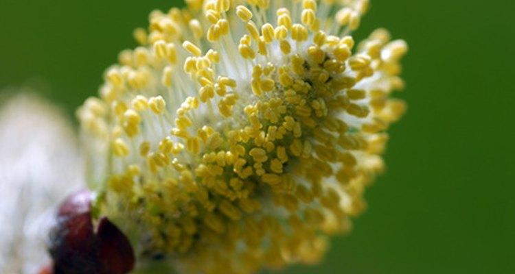 Plant pollen
