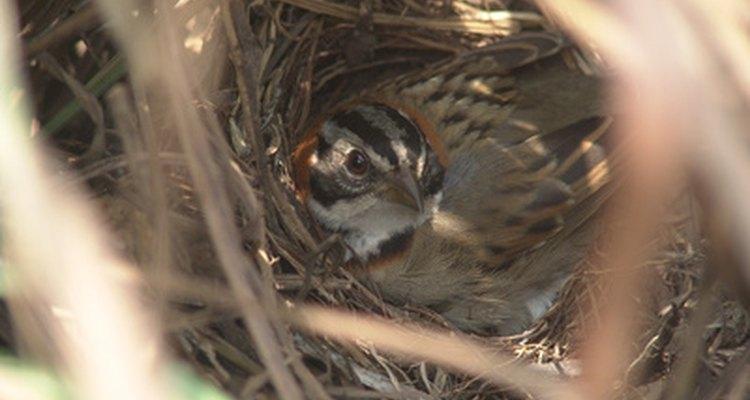 Dar proteção aos ninhos é importante para tornar seu quintal mais atrativo aos pássaros.