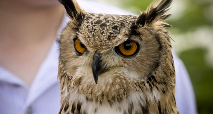 The long-eared owl, found in England, is endangered