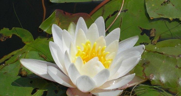 Una flor de nenúfar.