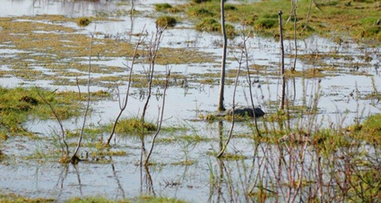 Tartarugas pescoço de cobra preferem o movimento lento da água de pântanos e lagos