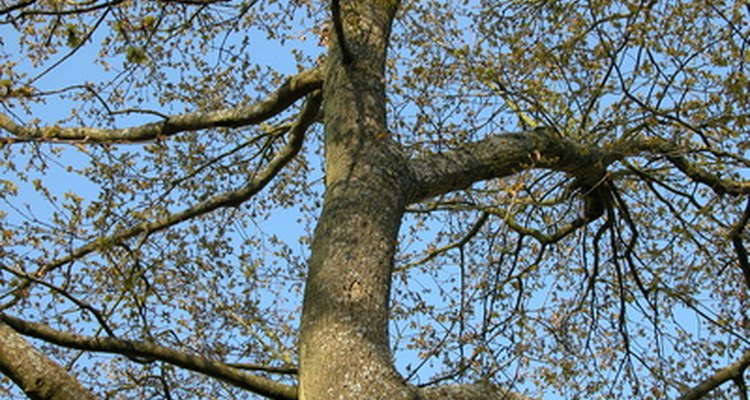 Oak is a hardwood often used for furniture.