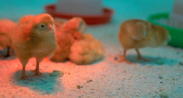 Las incubadoras mantienen la temperatura ideal para empollar a los huevos.