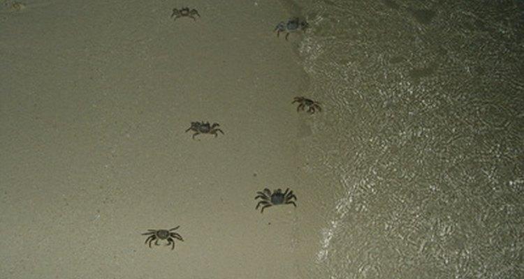 Los cangrejos hermitaños son sólo un tipo de cangrejo.