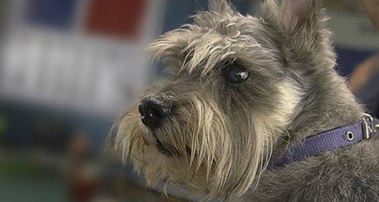 Raças de pelos grossos, como este terrier, são mais propensas a pelos encravados