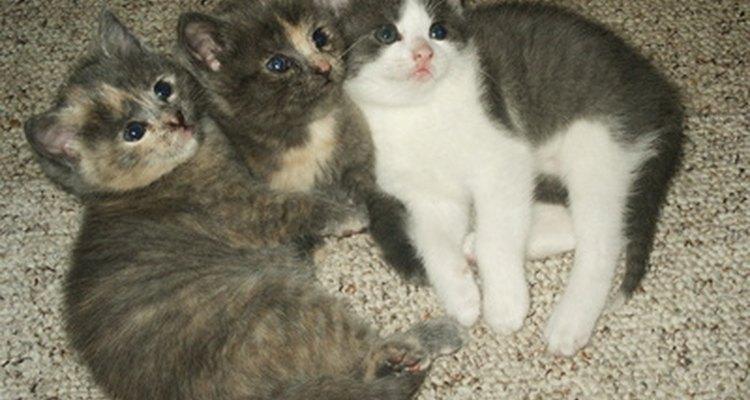 The battle of the sexes begins in kittenhood.