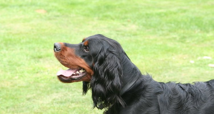 If you show your dog in the UK, you must earn three CCs to qualify as a Champion.