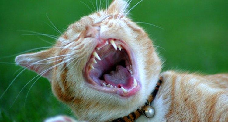 Un gato es el máximo cazador de ratones.