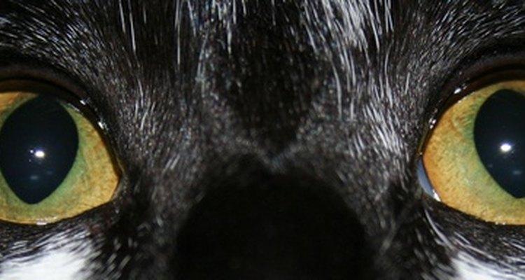 As lesões oculares nos gatos devem ser tratadas imediatamente
