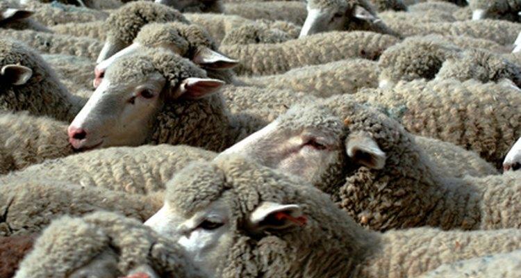 A lã vem do carneiro