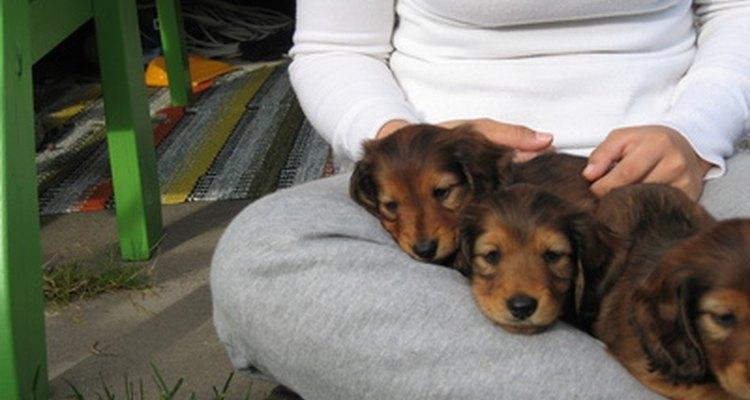 Los perros salchicha miniatura son muy pequeños. Ten cuidado de no pisar al cachorro.