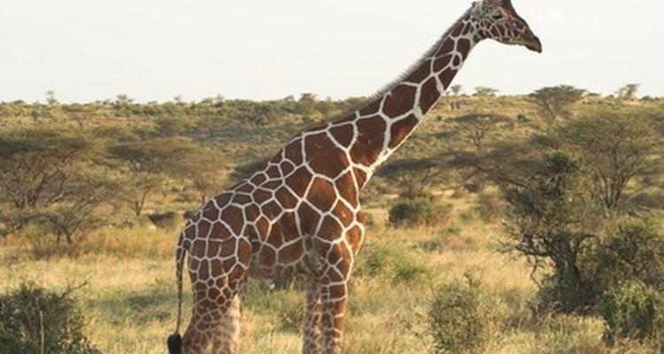 Las jirafas son rumiantes, con un estómago de cuatro cámaras.