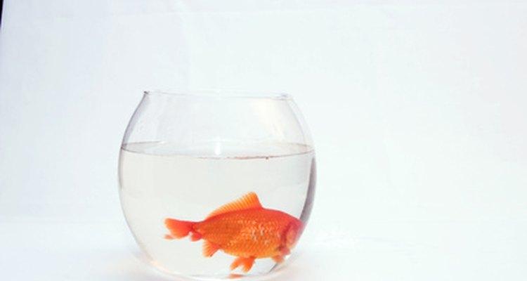 Un pez dorado no es la mejor opción para un pequeña pecera.