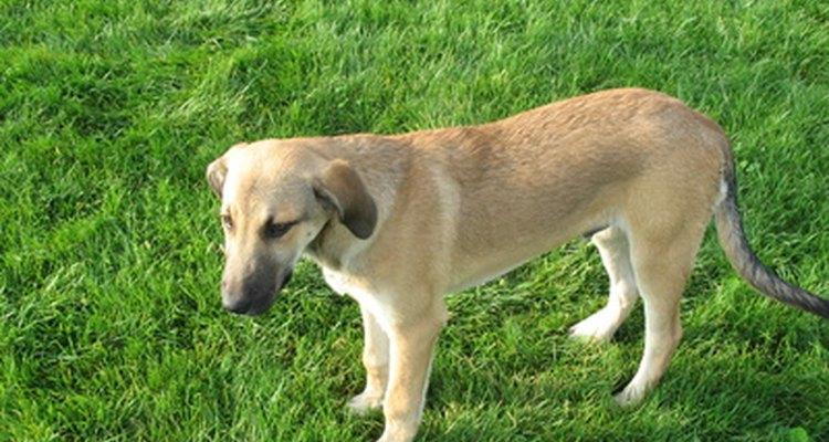 As bolinhas brancas na urina dos cães podem ser pedras no trato urinário