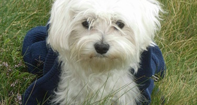 Bichon Frise dogs are affectionate and gentle companions.