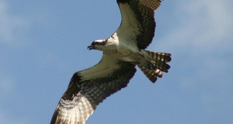 Hay más de 40 especies diferentes de halcones en el territorio de los Estados Unidos.