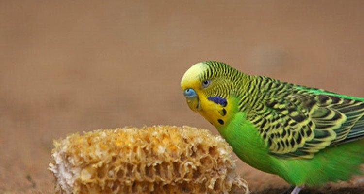 Os periquitos gostam de mordiscar plantas domésticas saborosas