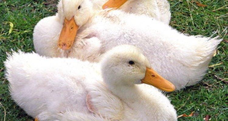 Com os cuidados adequados, os ovos de pato podem ser chocados com êxito em uma incubadora