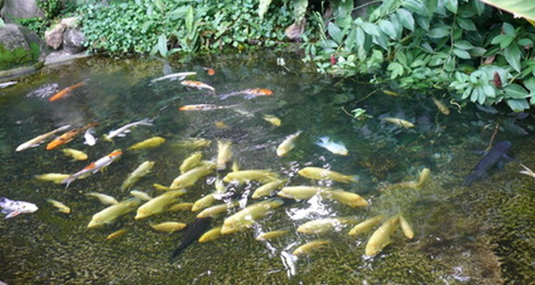 Backyard ponds must be deep enough for fish to survive the winter.