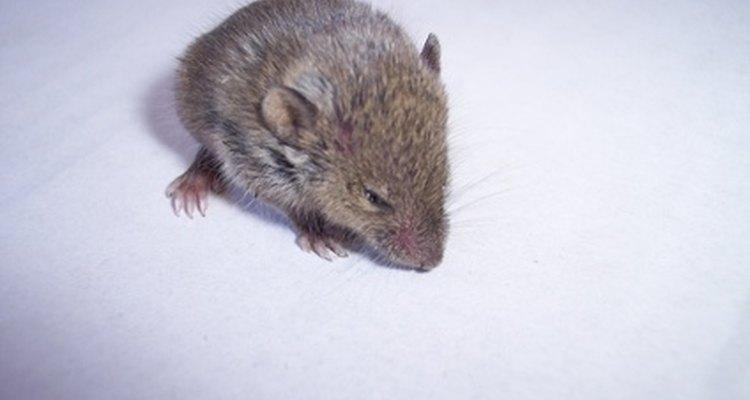 Vas a necesitar ser reactivo y proactivo para deshacerte de los ratones en tu casa.