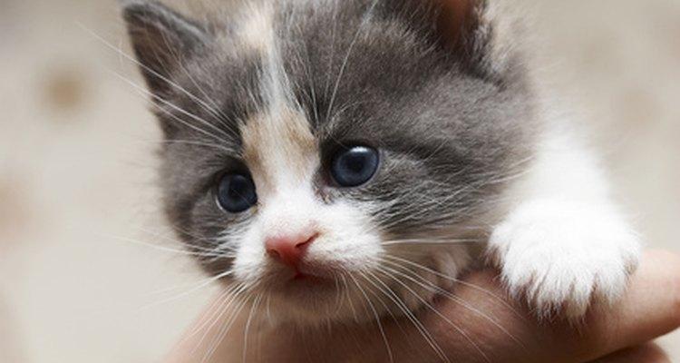 Gatinhos têm alto risco de contrair micose, mas a imersão em enxofre é um tratamento seguro e eficaz