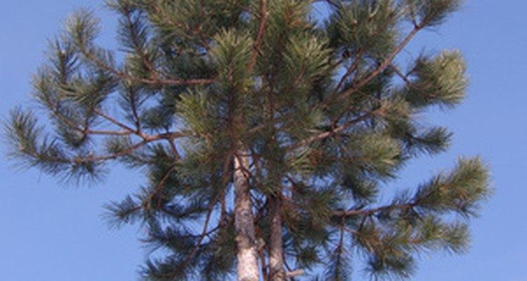 Algunas maderas blandas, como el pino, son excelentes para la construcción.