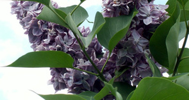 With proper care, your lilac will provide hundreds of fragrant flower clusters.