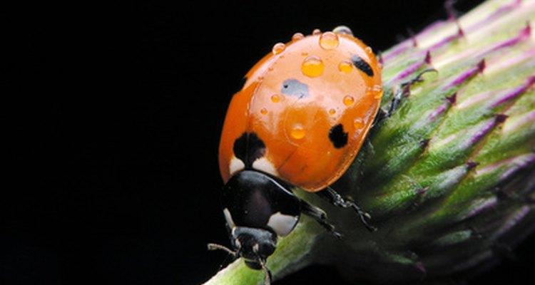 El Bacillus thuringiensis (Bt) no afecta a los insectos benéficos como las mariquitas.