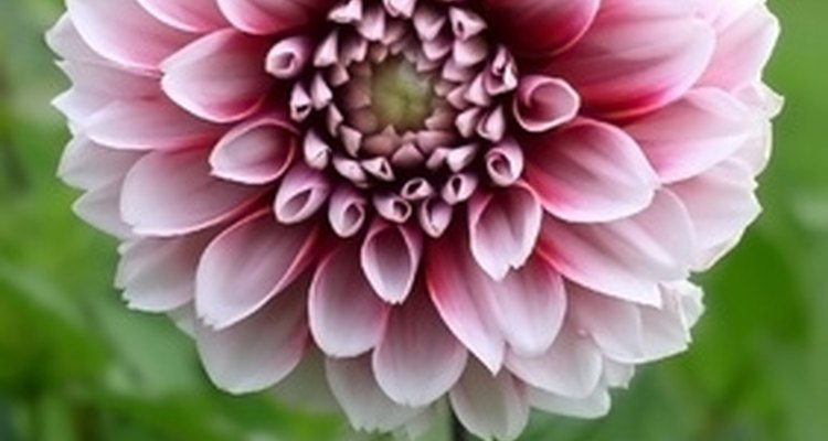 Dahlias symbolise commitment and long-lasting bonds.