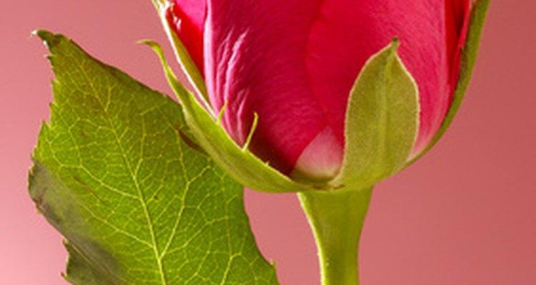 Faça uma bonita cópia das pétalas de uma rosa
