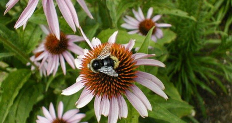 Honey bee gathering nectar.