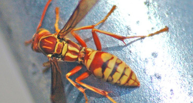 Sand wasps are even-tempered.