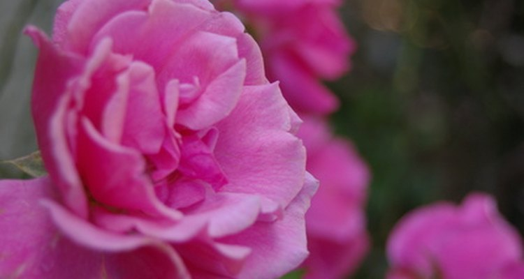 Grandiflora roses are a cross between the hybrid tea and floribunda.