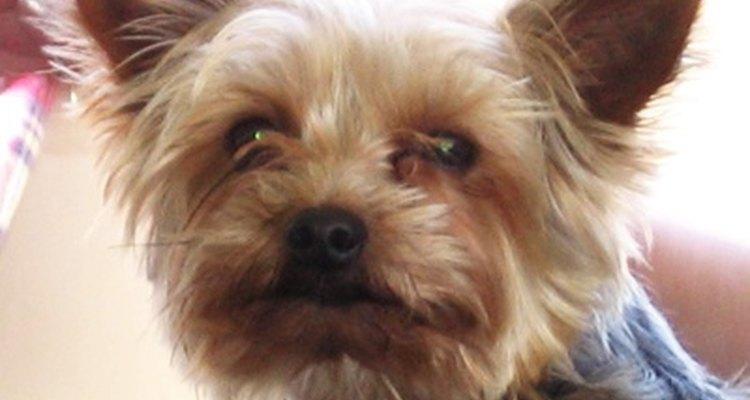 Antitussígenos podem ser prescritos para cachorros que sofrem de tosse do canil