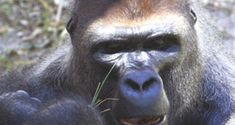 Nunca aponte ou encare um gorila da montanha