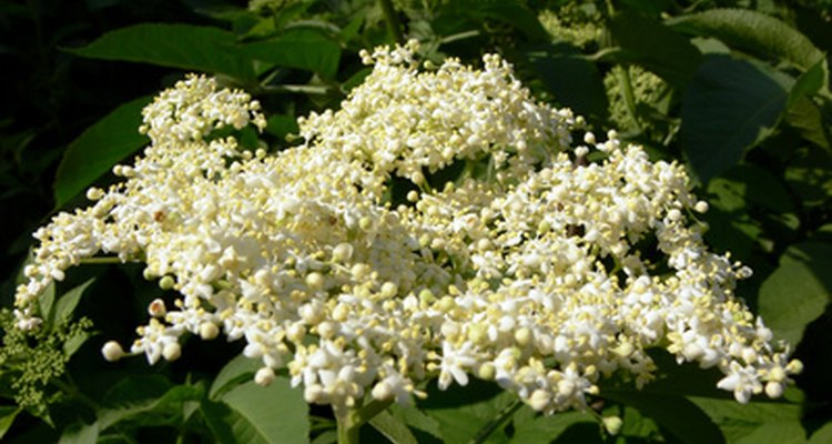 White elderflowers from the elderberry bush create the basis for cordial.