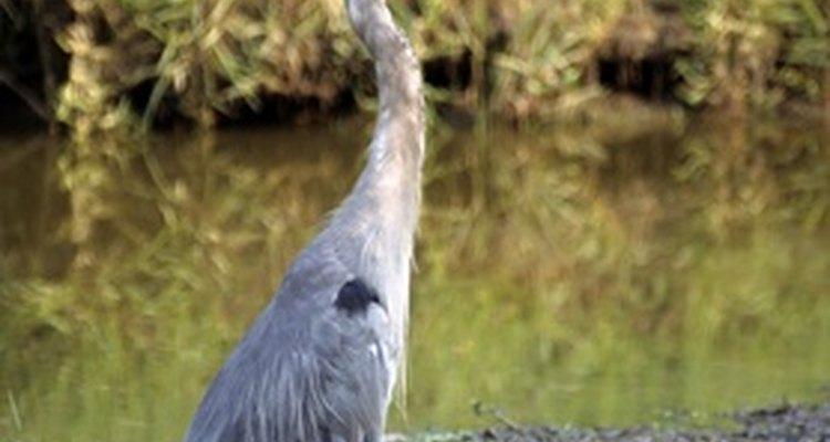 A garça-azul-grande adulta pode medir mais de dois metros de comprimento