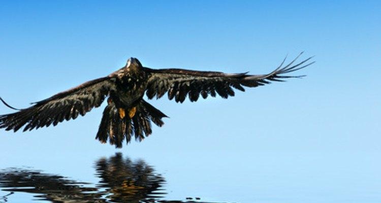 Las águilas adultas normalmente forman pareja de por vida.