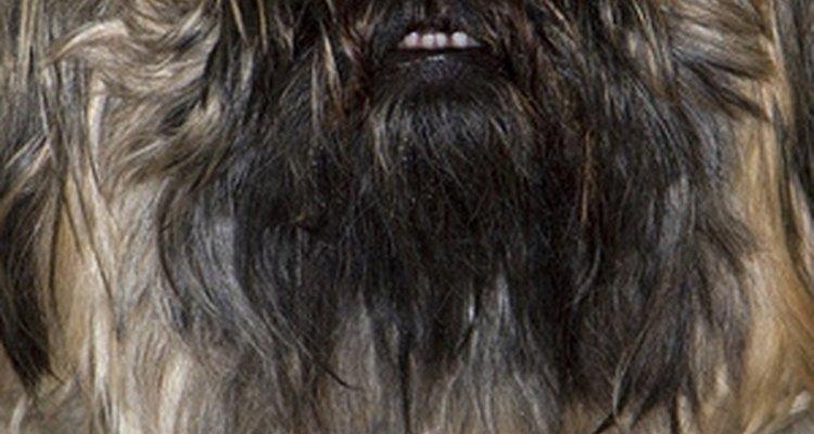 Muchas razas de perros tienen formaciones dentales características que resultan en una sobremordida.