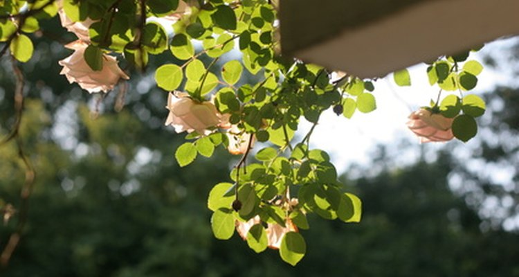 Climbing roses have varied blooming habits.