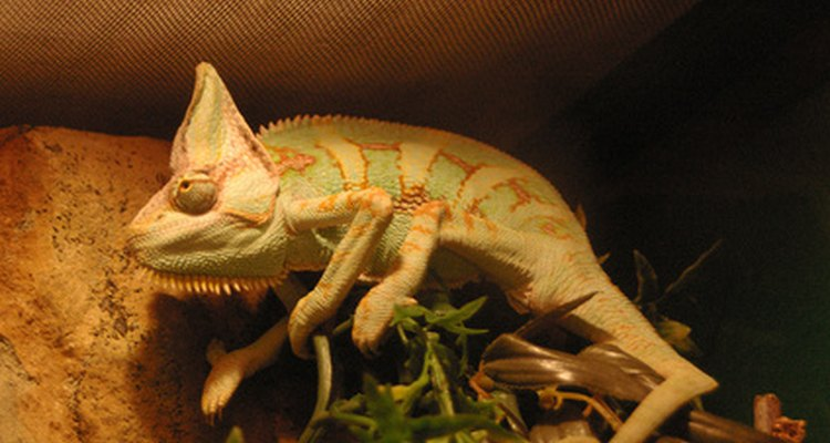 Chameleons are one of many arboreal reptiles.