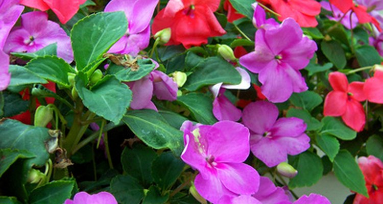 A essência da flor impatiens é incluída no Rescue Remedy para acalmar a irritabilidade