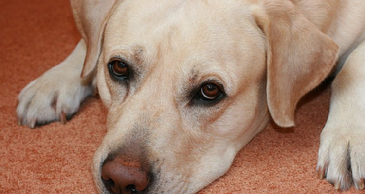 Labrador retrievers are among the most loyal breeds.