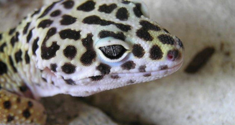 Los geckos leopardo son una de las especies de gecko más populares