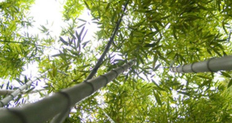 Este bambú florece sólo una vez en su ciclo de vida.