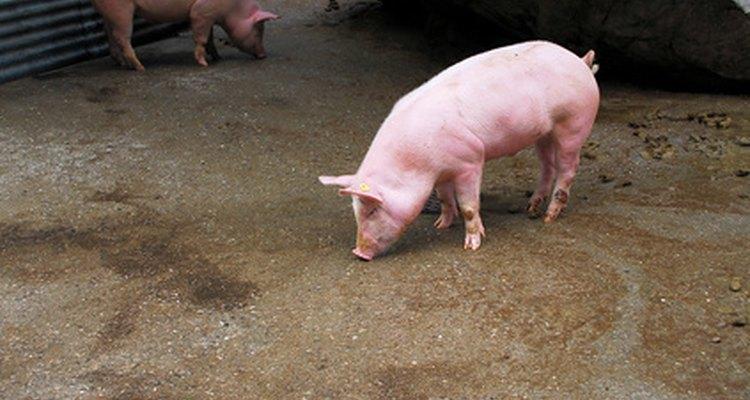 Porcos precisam de acesso à água