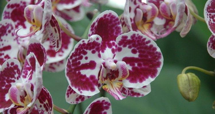 Una orquídea phalaenopsis híbrida, que se encuentra en muchas tiendas y que es muy popular por la extensión de tiempo en la que florece.