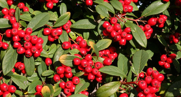 Pyracantha Coccinea grows bright-red berries.